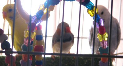 Anyone keep budgies with finches? - Other Birds - Grey Forums